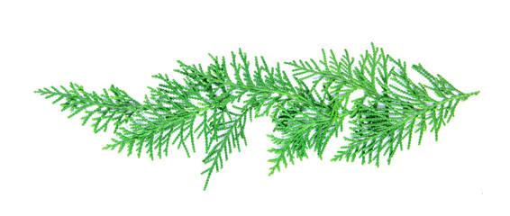 fresh green pine leaves , Oriental Arborvitae, Thuja orientalis ( known as Platycladus orientalis) leaf texture on white background