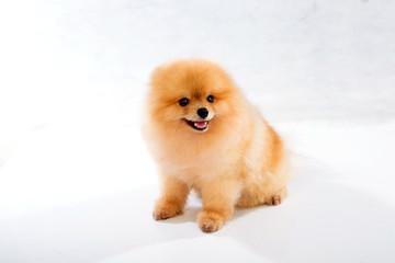 pomeranian dog on white background
