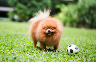 Cute Pomeranian dog and outdoor garden and running