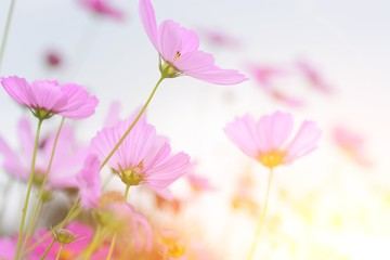 the cosmos flowers with light for love concept