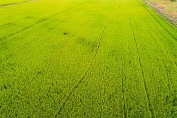Rice plantation green field