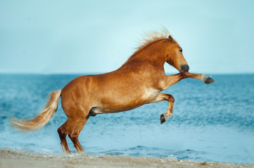 haflinger horse rearing up in the sea