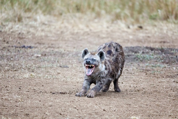 Self adhesive Wall Murals Hyena Laughing hyena