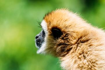 Spider Monkey (Ateles Fusciceps) Portrait