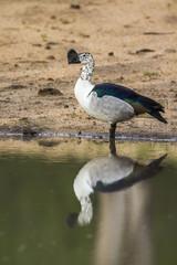 Knob billed duck in Kruger National park, South Africa