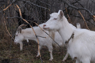 Head shot of white female goat with horns standing in paddock on farm
