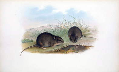 Illustration of a mouse.