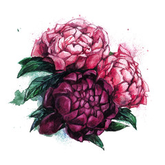 Beautiful pink and red peonies. Bright peony on a white background. Watercolor illustration with flowers. Gentle style.