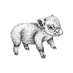 Baby farm animal. Domestic. Little pig. Vintage style. Vector illustration. Hand drawn sketch line art image. BLack and white.