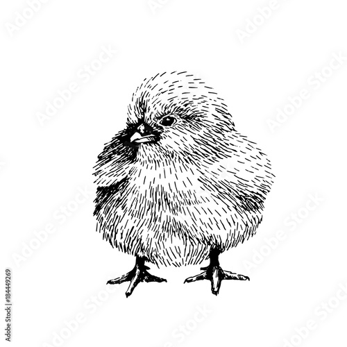 Baby Farm Animal Domestic Little Cute Chicken Vintage Style Vector Illustration