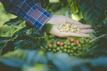 Handful of organic coffee beans