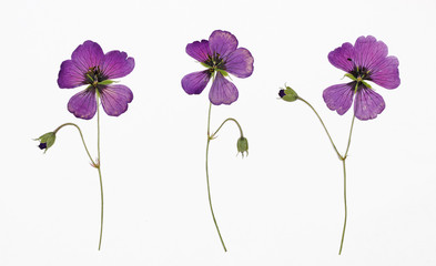 Picture of dried flowers Geranium psilostemon (Armenian cranesbill) in several variants / Herbarium from dried blossoming flower arranged in a row.