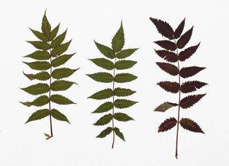 Picture of dried leaves Sorbaria sorbifolia (False spiraea) in several variants / Herbarium from dried blossoming leaves arranged in a row.