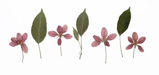 Picture of dried flowers Malus baccata (Siberian crab apple) in several variants / Herbarium from dried blossoming flower arranged in a row.