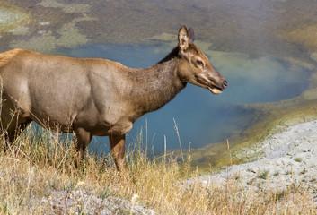 Mule deer at West Thumb Geyser basin