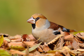 Portrait of a hawfinch over leafs on the ground