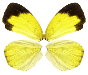 Beautiful butterfly wings in yellow, brown and black close up isolated on white background