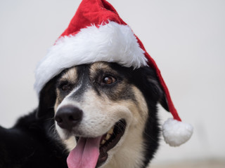 An cute adorable dog wearing Santa hat for being Santa Claus during Christmas holidays. An isolated dog on white background with copy space. This dog looks so curious with her eyes