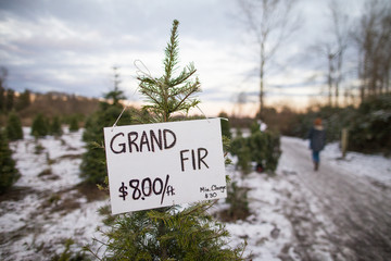Price tag on Christmas tree at farm, Langley, British Columbia, Canada