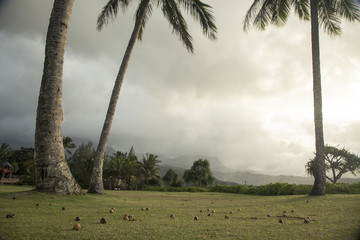 Fallen coconuts lying on lawn under palm trees, Kauai, Hawaii, USA