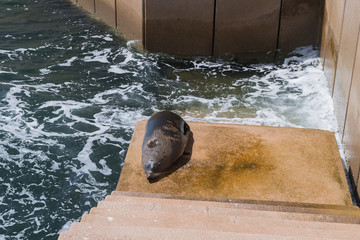 Seehund im Hafenbecken von Sydney in Australien