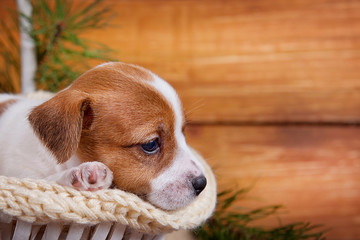 Cute puppy Jack Russell Terrier lying in a white basket on wooden background with space for inscriptions