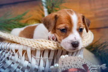 Puppy portrait Jack Russell Terrier in the basket on white wooden background with a branch of a tree.