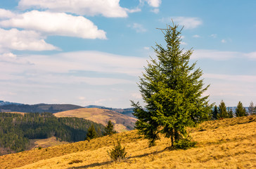 Spruce forest on mountain hillside. meadows with weathered grass on bright sunny day with blue sky and clouds. beautiful springtime landscape