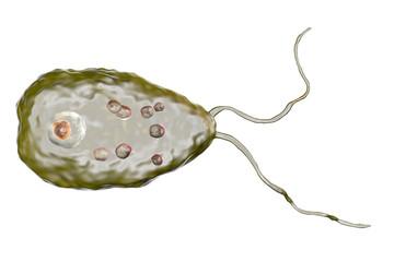 Brain-eating amoeba infection, naegleriasis. Flagellate form of the parasite Naegleria fowleri, 3D illustration