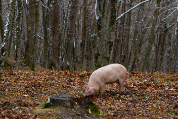 Pig in a mountain forest