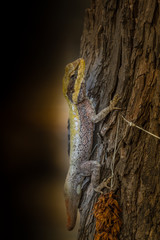 Forest dragon in tropic of India. Macro photo of reptiles Little Andaman, Andaman Sea. Lizard