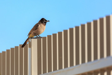 White-spectacled bulbul on a metal fence