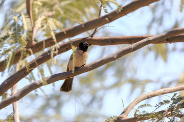 White-spectacled bulbul on branch of acacia