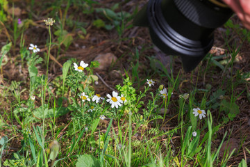 Photographing of a white daisies