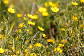 Yellow chrysanthemum coronarium at desert