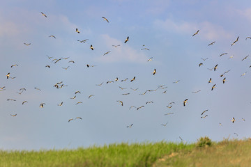 Big flock of a storks flying over a green field