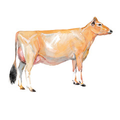 Vector illustration of a watercolor cow. Cow isolated on white background. Jersey breed of cows