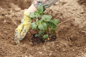 Potatoes are planted in the spring in the open ground. Organic farming on the backyard.