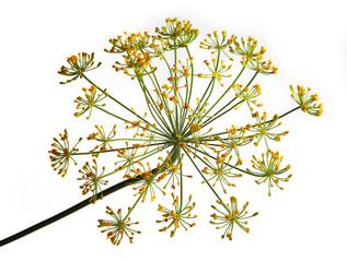 Fototapeta Umbel of dill weed on the white background obraz