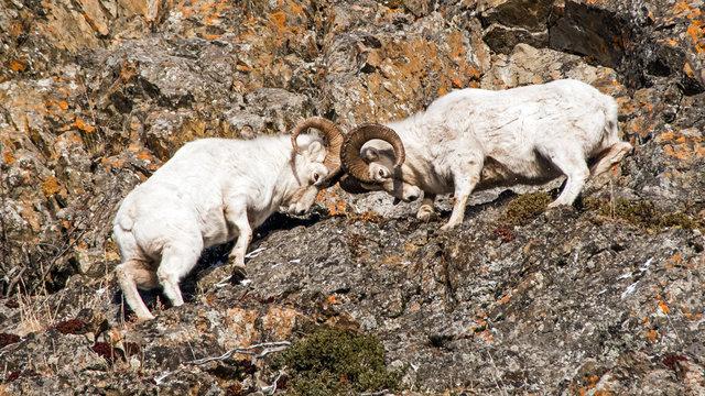 Dall Sheep Rams fight during the rut season