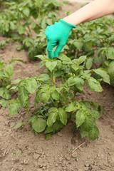 Collect leptinotarsa decemlineata on a potato plantation. The gardener works in the garden.