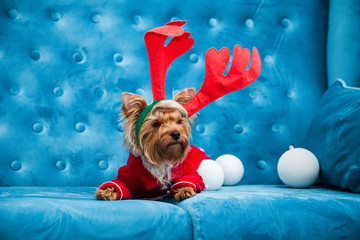 photo session couch tiffany blue turquoise color dog pet new year christmas red terrier sofa toy
