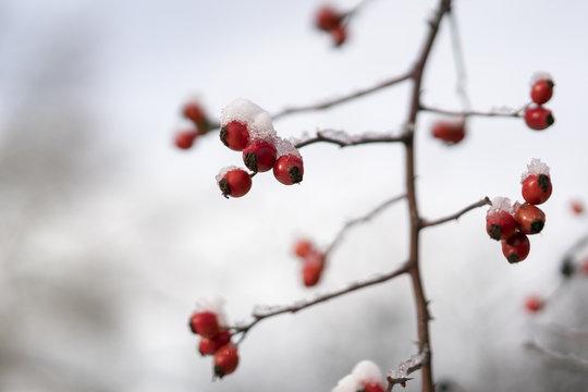 Glaze ice on the orange rose hips