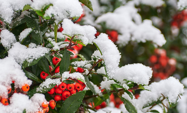 A Cotoneaster bush with lots of red berries on green branches covered a beautiful first snow. Close-up colorful winter bushes with red berries. Red green and white colors.