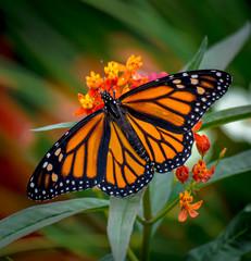 Monarch Spread
