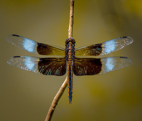 Male Skimmer