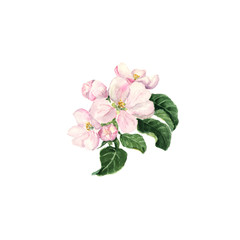 Apple blossom. Watercolor branch with flowers and leaves on white