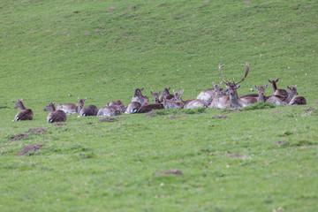 fallow deer resting