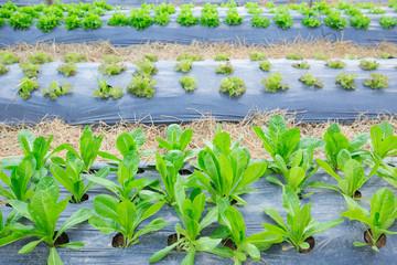 organic farm fresh green salad vegetable healthy
