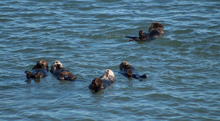 California Sea Otter